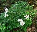 Paeonia suffruticosa 18.jpg