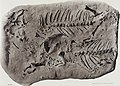 Palaeontographica (1912) (14764359794).jpg