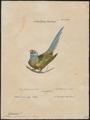 Palaeornis cyanocephalus - 1700-1880 - Print - Iconographia Zoologica - Special Collections University of Amsterdam - UBA01 IZ18500065.tif