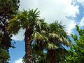 Palmier chanvre.jpg