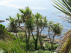 Palms in the garden on St Michael's Mount - geograph.org.uk - 1389066.jpg
