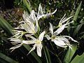 Pancratium illyricum 4 (Corse).JPG