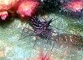 Pandalopsis lucidirimicola 1.jpg