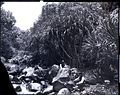 Pandanus Grove, Iao Valley, photograph by Brother Bertram.jpg