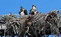 Pandion haliaetus (Osprey) photograph 20.jpg