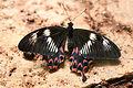 Papilio polytes Female.jpg