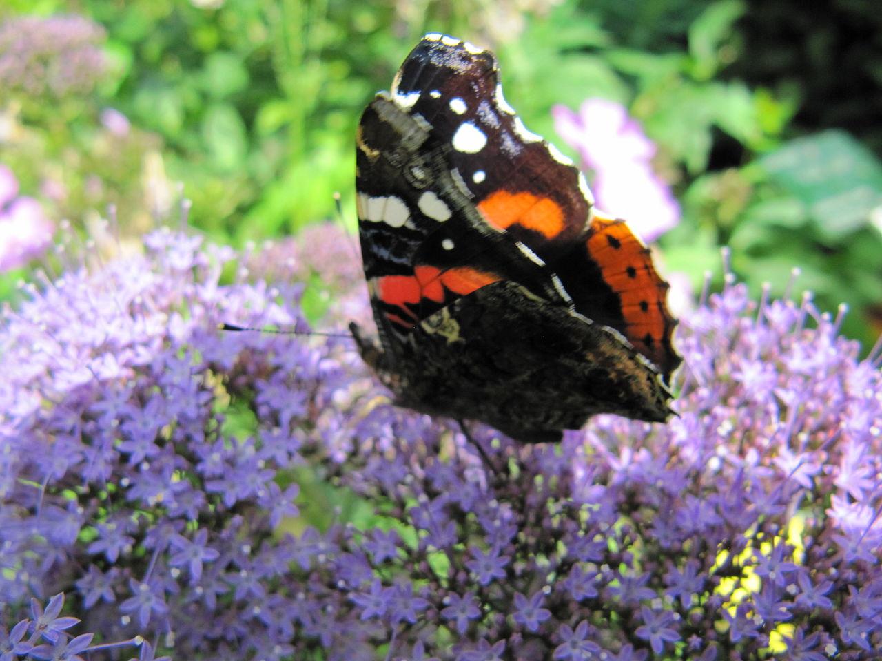File papillon sur une wikimedia commons - Papillon fleur ...
