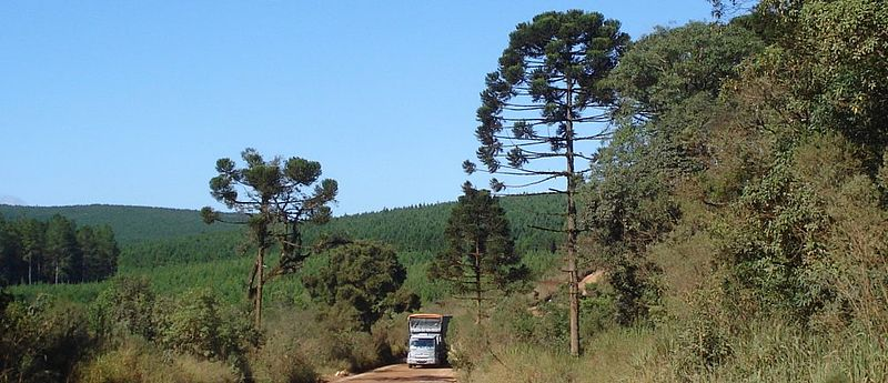 https://upload.wikimedia.org/wikipedia/commons/thumb/c/c5/Parana_pine_truck.jpg/800px-Parana_pine_truck.jpg
