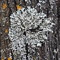 Parmelia sulcata 108502943.jpg