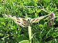 Parnassius apollo - Hohe Wand - 01.jpg
