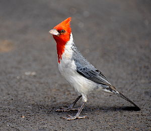 Red-crested cardinal - At Koke'e State Park, Hawaii