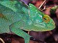 Parson's Chameleon (Calumma parsonii) female (7641382378).jpg