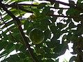 Passiflora edulis 0001.jpg