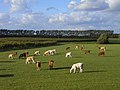 Pasture with cattle, Harwell - geograph.org.uk - 1576776.jpg