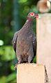 Patagioenas squamosa in Barbados a-07.jpg