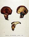 Paxillus atrotomentosus — Flora Batava — Volume v19.jpg