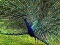 Peacock, Jardim Botânico da Madeira.jpg