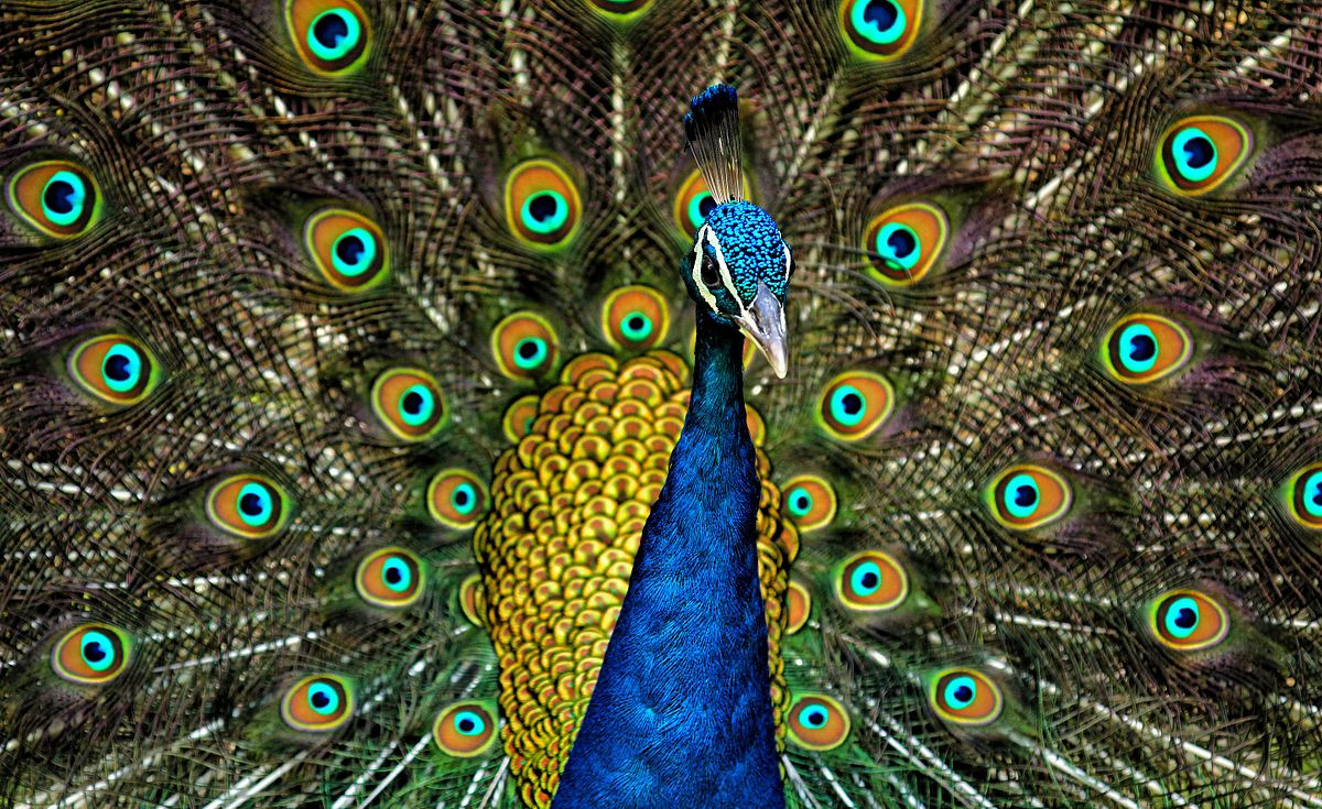 Peafowl wikipedia biocorpaavc Gallery