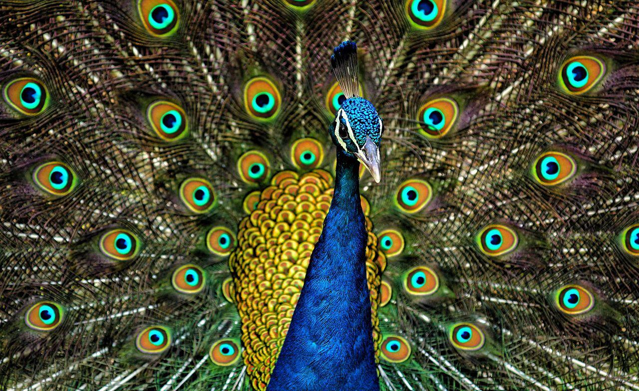 File Peacock Plumage Jpg Wikimedia Commons
