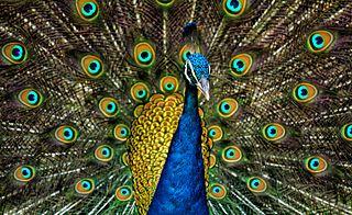 Peafowl Type of bird