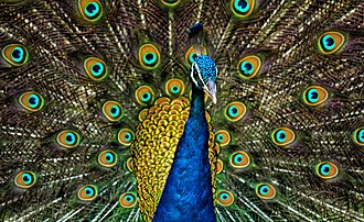 Peafowl - Indian peacock displaying its train