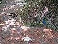Peacock courtship ritual (7856489320).jpg