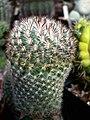 Pediocactus simpsonii 2.jpg