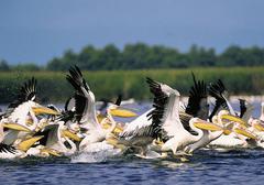 Voksen Dating Chat Pelican