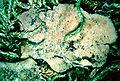 Peltigera evansiana-2.jpg