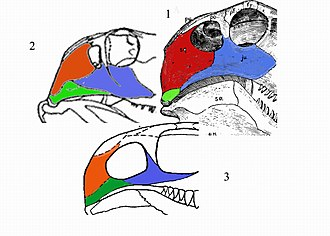 "Pelycosaur - Comparison of ""pelycosaurian"" skulls: 1 sphenacodont, 2 ophiacodont, 3 caseid. The quadratojugale is green, squamosale is red, jugale is blue."