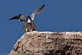 Peregrine Falcons (Falco peregrinus) mating on Morro Rock.jpg