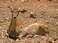 Persian Fallow Deer fawn.jpg