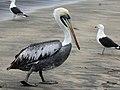 Peruvian Pelican RWD6.jpg