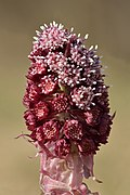 Petasites hybridus inflorescence - Keila.jpg