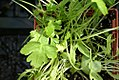 Petroselinum neapolitanum 0zz.jpg