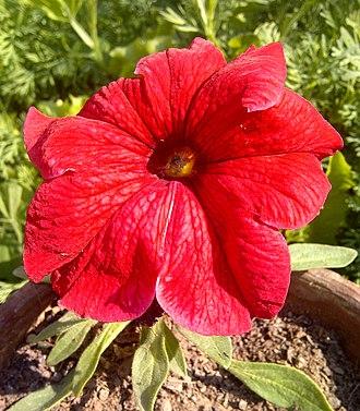 Petunia - Image: Petunia 6