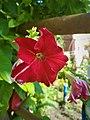 Petunia Flowers (1).jpg