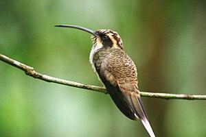 Hermit (hummingbird) - Phaethornis eurynome