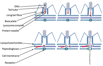 Bacteriophage - Diagram of the DNA injection process