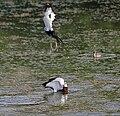 Pheasant-tailed Jacana (Hydrophasianus chirurgus) in Hyderabad W IMG 8337.jpg