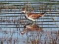 Pheasant tailed Jacana (Non-breeding) I IMG 8638.jpg