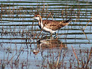 Pheasant-tailed jacana - In non-breeding plumage at Bharatpur, Rajasthan, India
