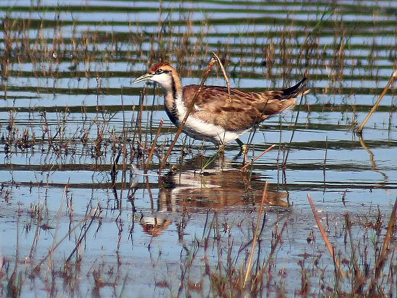 Pheasant tailed Jacana (Non-breeding) I IMG 8638