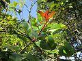 Photinia integrifolia at Mannavan Shola, Anamudi Shola National Park, Kerala (6).jpg