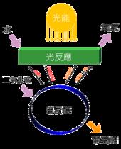光合作用 - 維基百科,自由的百科全書