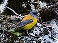Phrygilus patagonicus -Tierra del Fuego National Park, Argentina-8.jpg