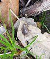 Phyllodromica subaptera. Blattellidae - Flickr - gailhampshire.jpg