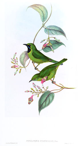 PhyllornisCyanopogonGould.jpg