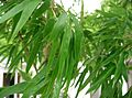 Phyllostachys heterocycla 'Kikko-chiku'2.jpg