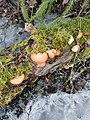Phyllotopsis nidulans 117966424.jpg